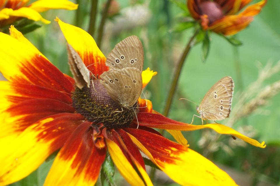 Coneflower, Flower, Flowers, Yellow, Yellow Flower