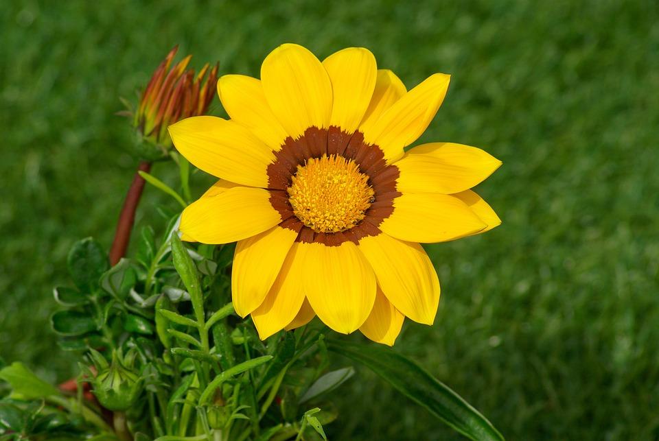 Flower, Gazania, Petals, Yellow Flower