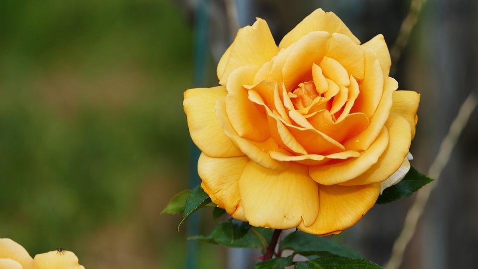 Nature, Garden, Flower, Rose, Yellow, Light, Blossom