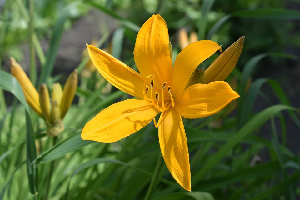 Day-lily, Yellow, Bloom, Flower, Garden, Flowers, Flora