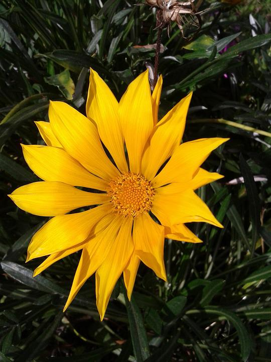 Gazania, Flower, Yellow