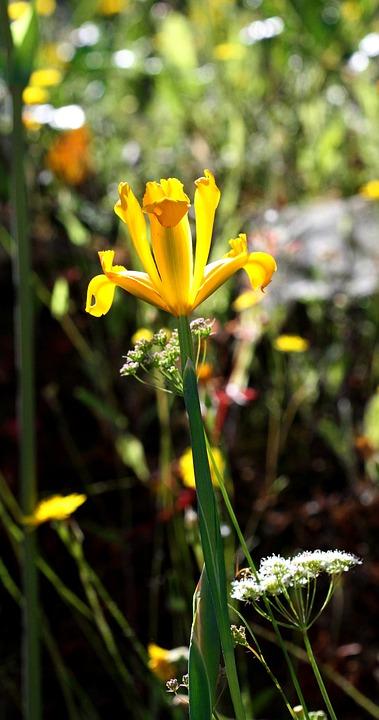 Iris Pseudacorus, Iris, Yellow, Flower, Spain