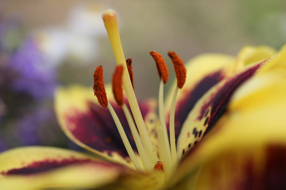 Lily, Flower, Blossom, Bloom, Yellow, Garden, Close Up