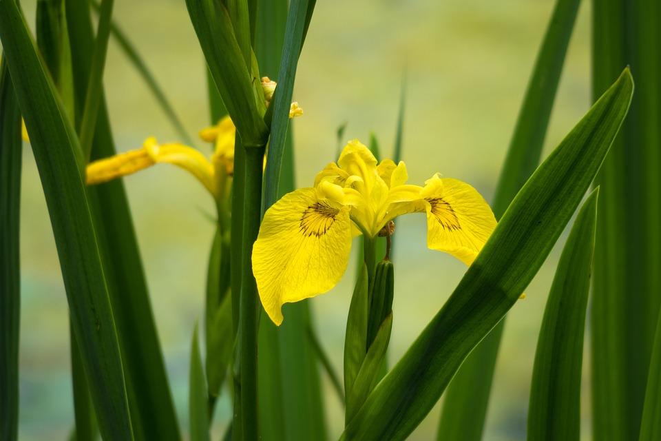 Flower, Yellow, Garden, Lily, Iris