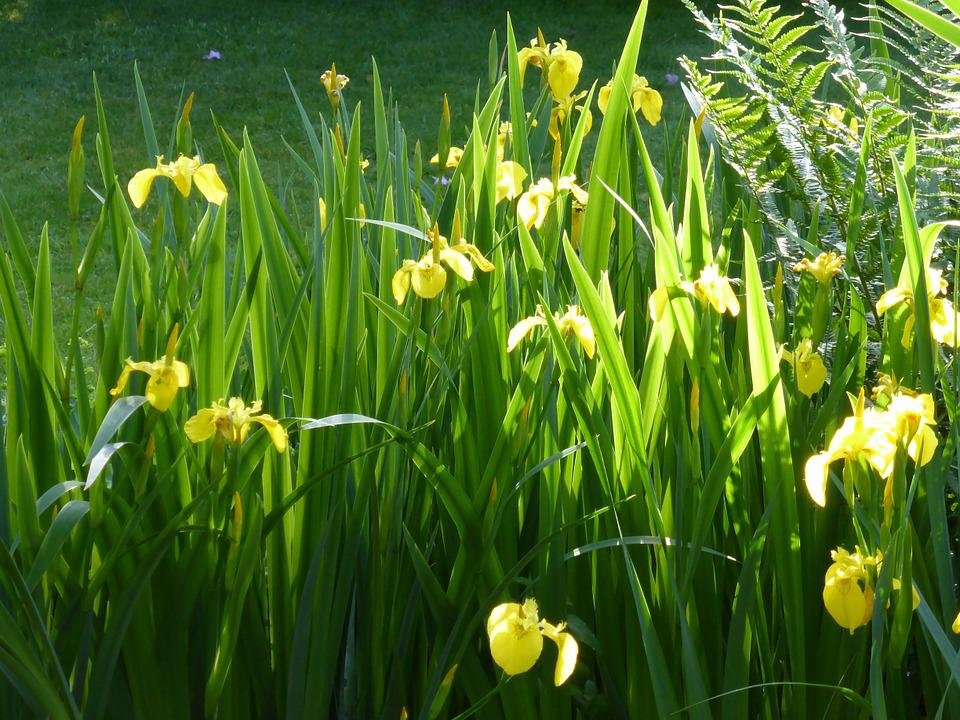Iris, Flower, Flowers, Plant, Morning Light, Yellow