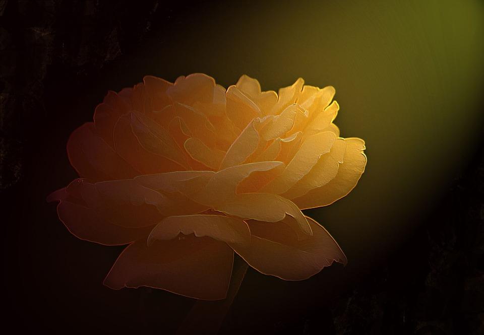 Flower, Rose, Yellow, Petals