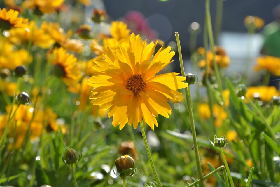 Flower, Plant, Marguerite Orange, Yellow, Offer