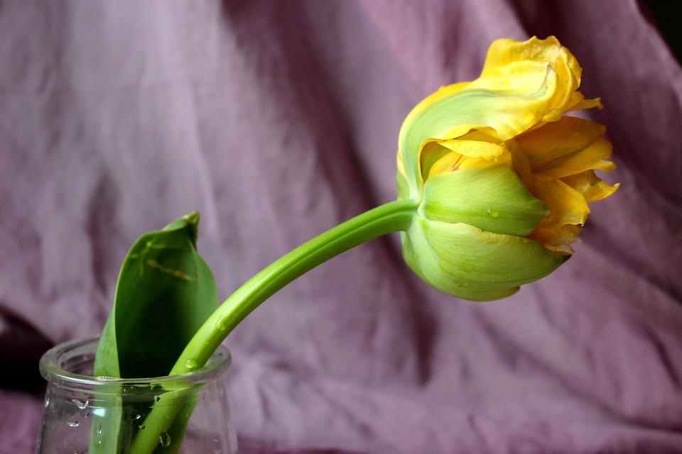Tulip, Yellow, Flower, Tulip Spring