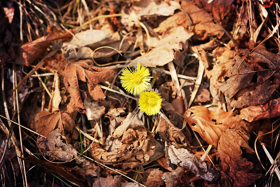 Tussilago Farfara, Flower, Yellow, Spring Flower