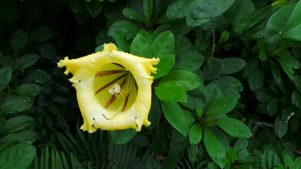 Yellow, Tropical, Flower, Flowering, Vine, Flora