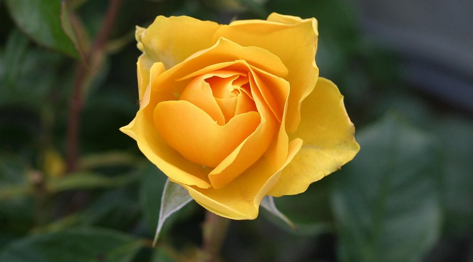 Rose, Flower, Yellow, Yellow Rose, Blossom