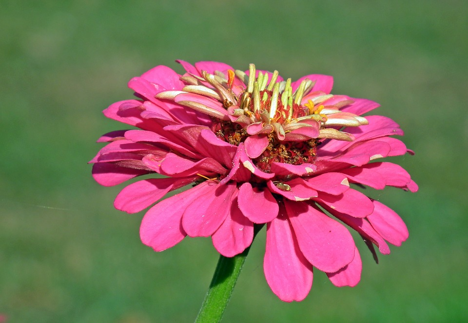 Flower, Zinnia, Macro, Nature, Garden, The Petals