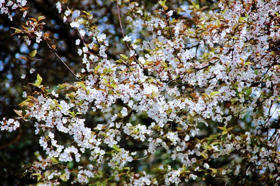 Cherry Blossom, Zoo, Flower