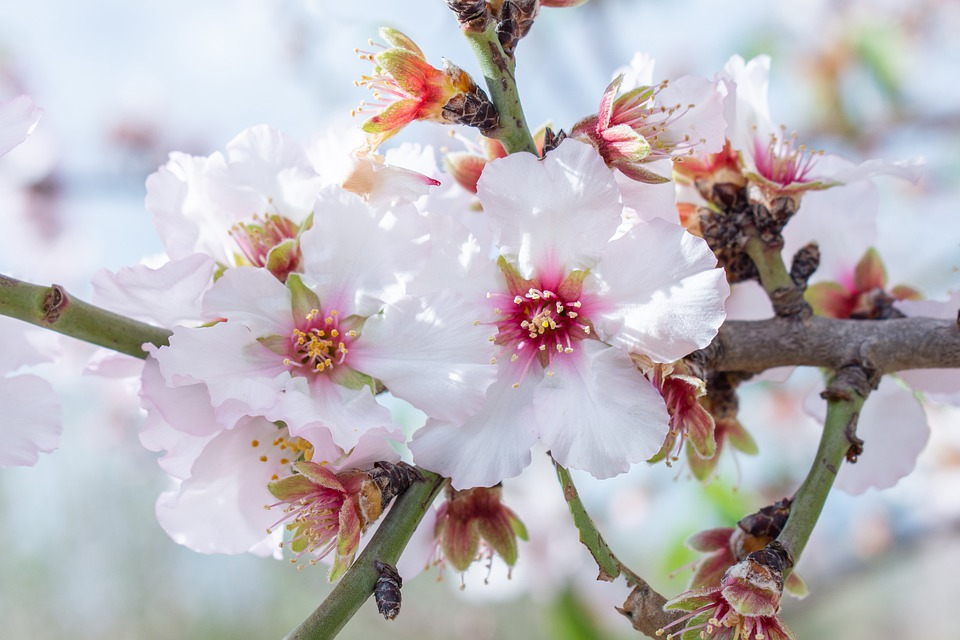 The Flowers Of Almonds, Flowering Almond, Spring