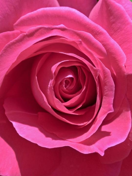 Rosa, Petal, Background, Flowering, Flower