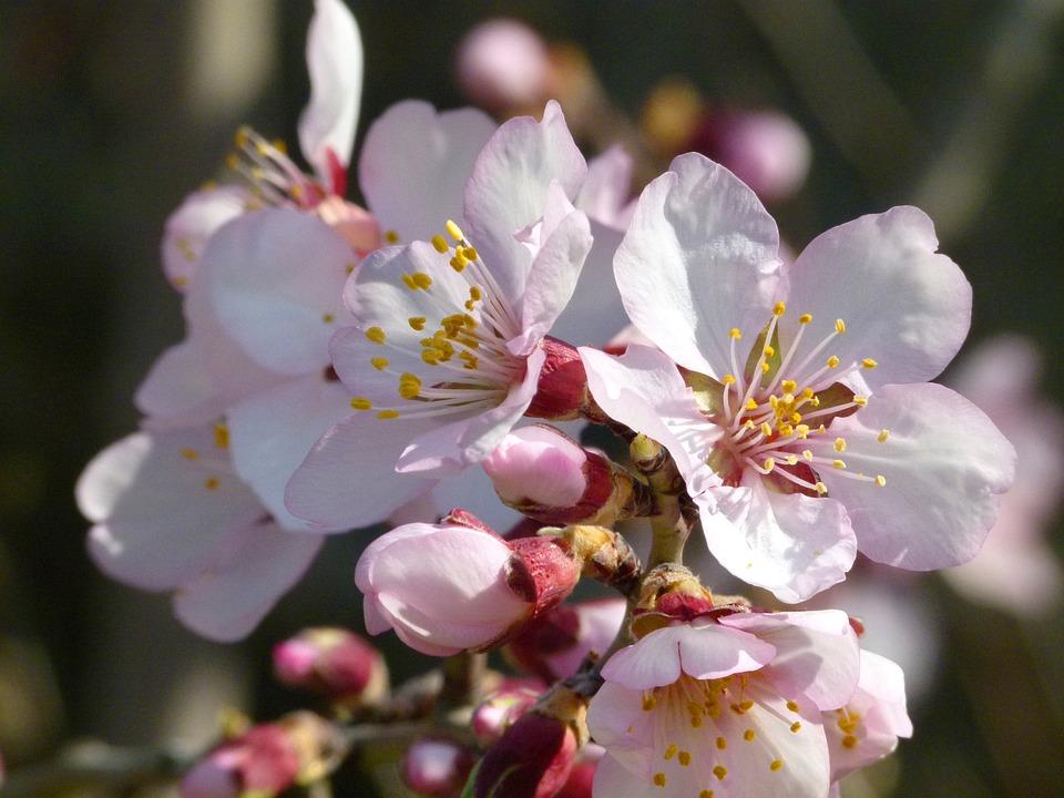 Almond Tree, Flower, Knob, Blossom, Spring, Flowering