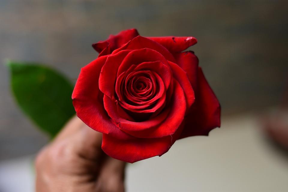 Rosa, Flower, Petal, Flowering