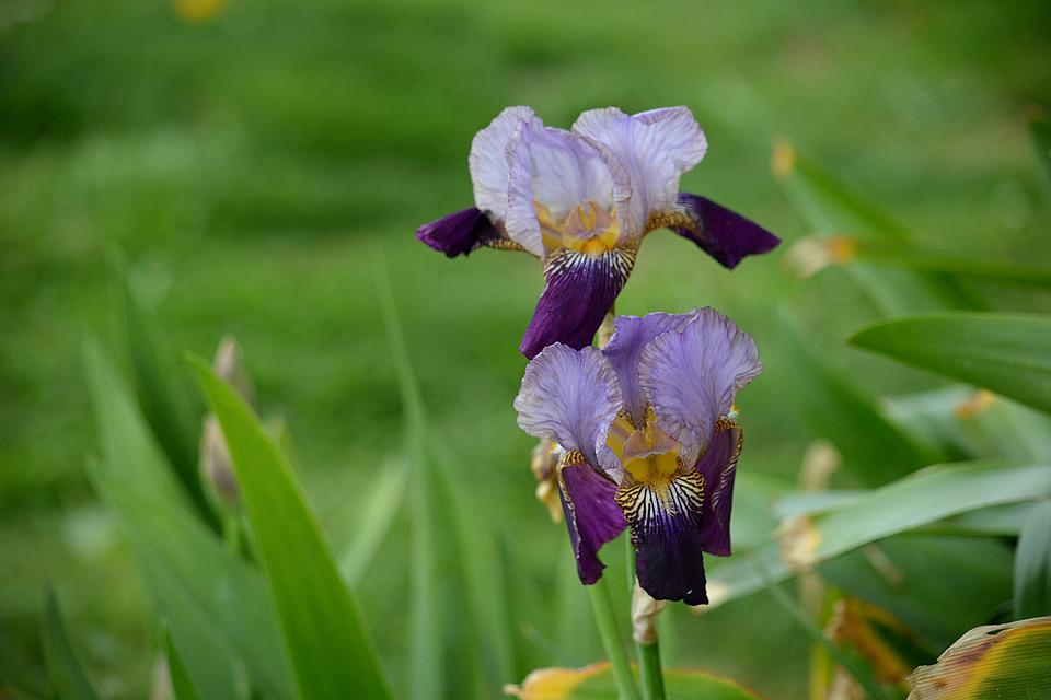 Iris, Flora, Flowers, Garden, Nature, Botany, Flowering