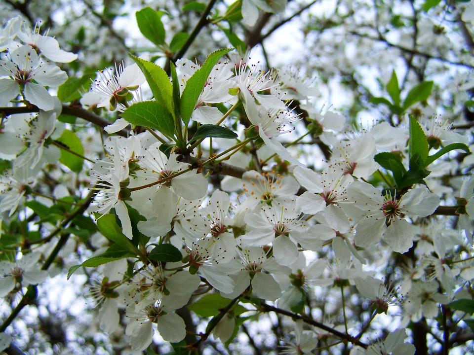 Free photo flowering fruit trees white flower spring max pixel spring flowering fruit trees white flower mightylinksfo