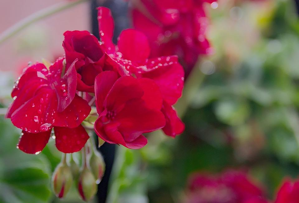 Geranium, Flower, Macro, Flowering, Potted Flower