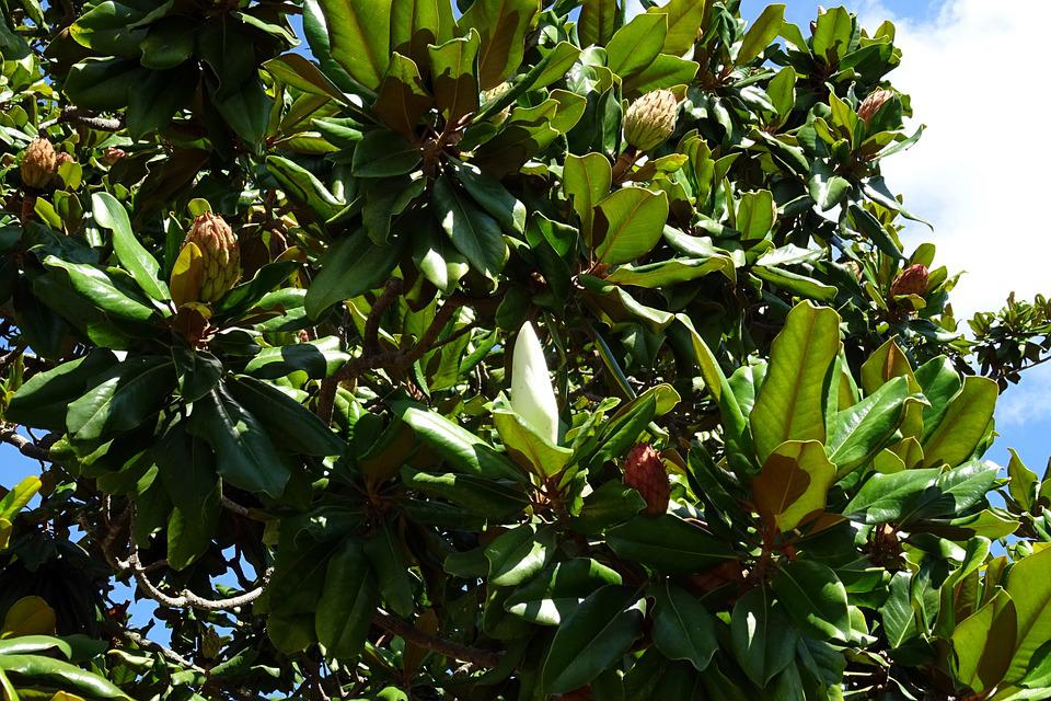 Tree, Flowering, Magnolia, Grandiflora, Botany