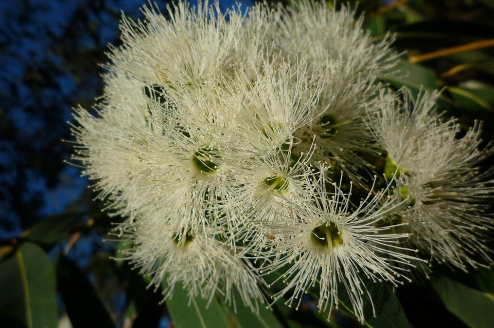Free photo flowering gum native eucalyptus white australia max pixel white flowering gum australia eucalyptus native mightylinksfo