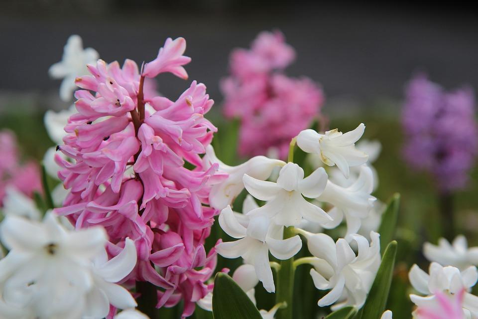 Hyacinth, Hyacinth Pink, Flowering, Spring