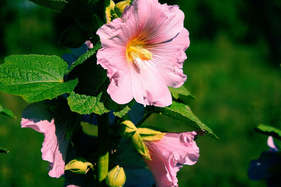 Flower, Mallow, Pink, Nature, Garden, Macro, Flowering