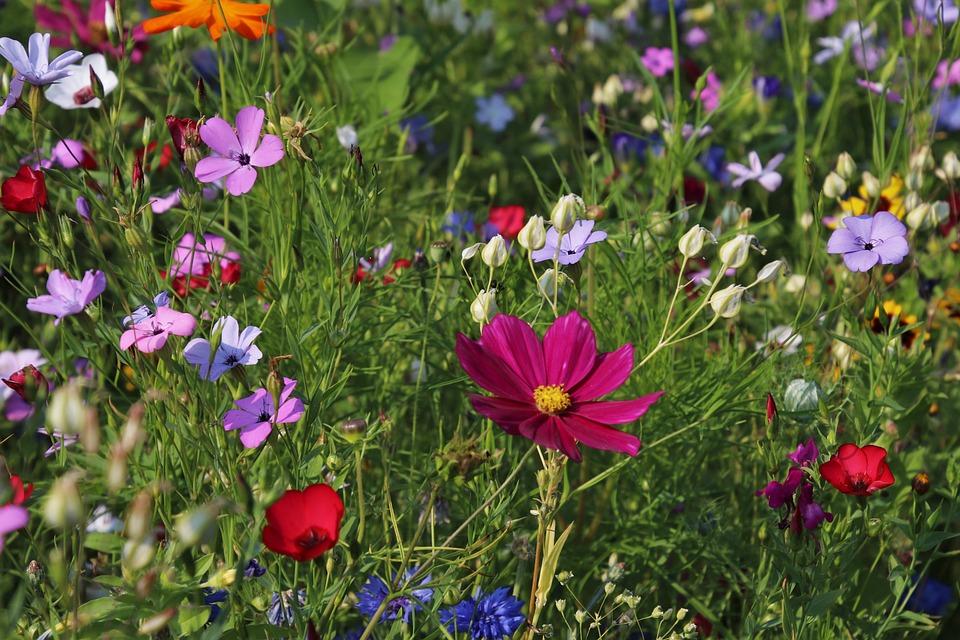 Wildflowers, Meadow, Grass, Plants, Nature, Flowering
