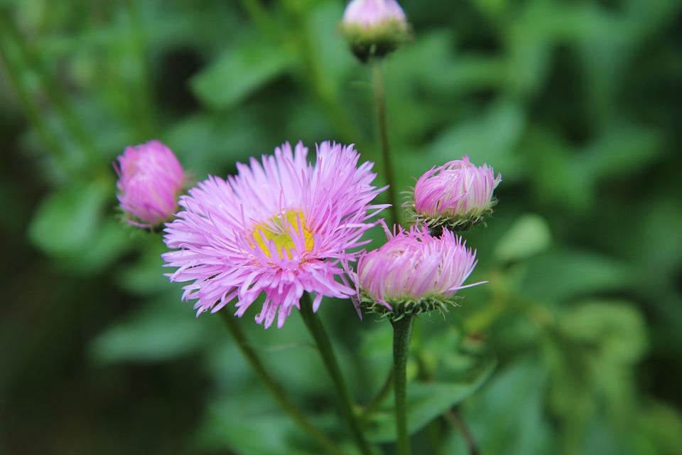 Free Photo Flowering Perennial Pink Flower Pink Flowers Max Pixel