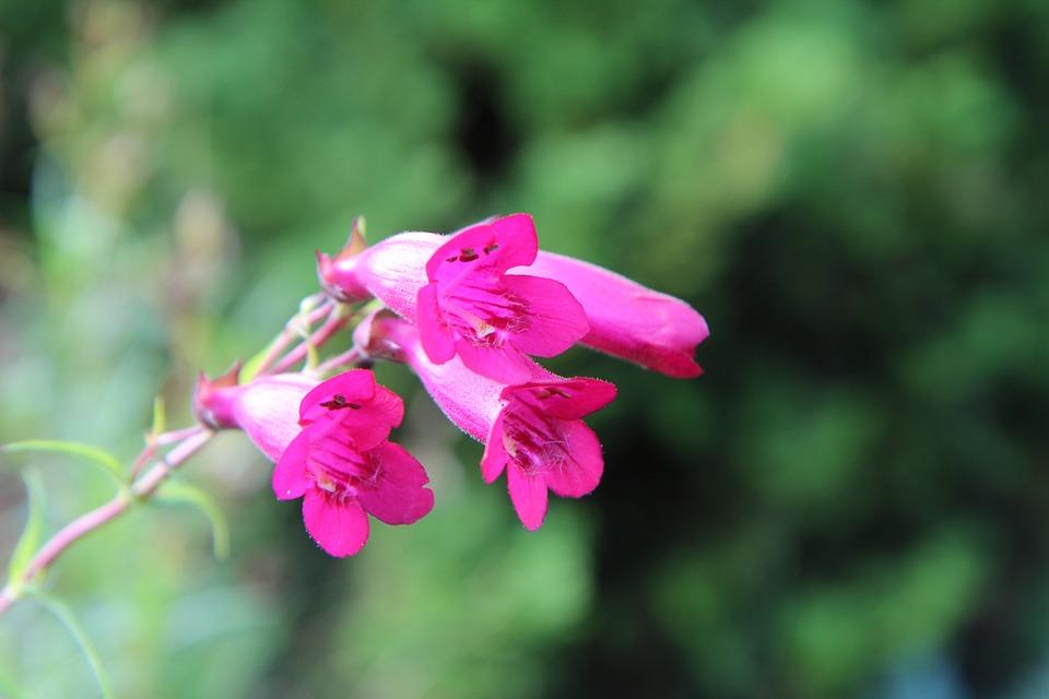 Free photo flowering pink flowers perennial fulfillment max pixel flowering pink flowers perennial fulfillment mightylinksfo