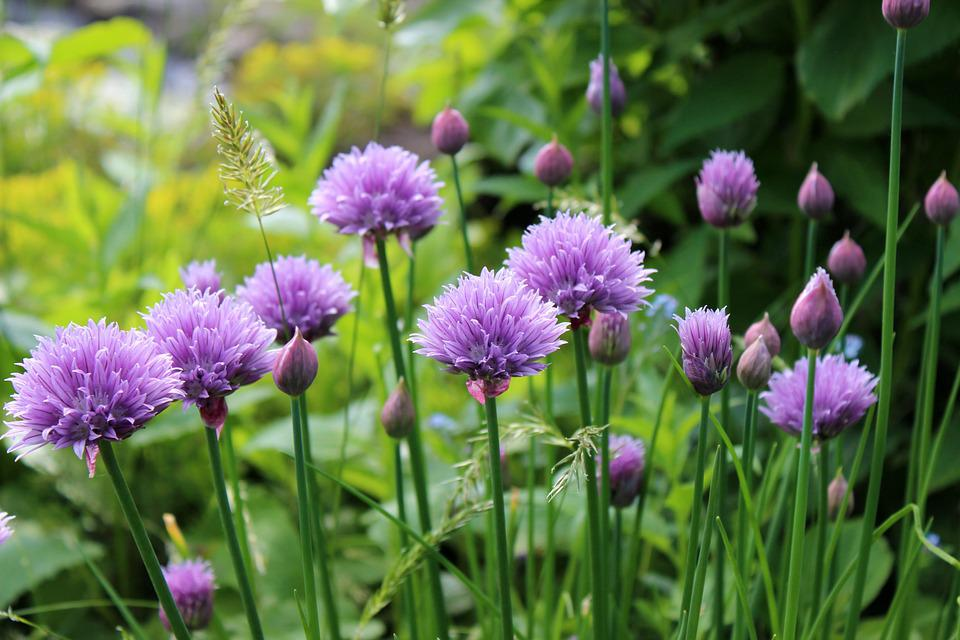 Chive, Flowering, Plant, Flower, Herbs, Meadow, Garden