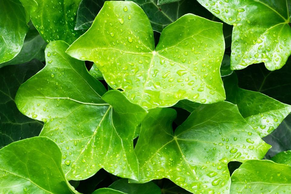 Ivy, Hedera Helix, Flowering Plant, Leaf, Green, Lobed