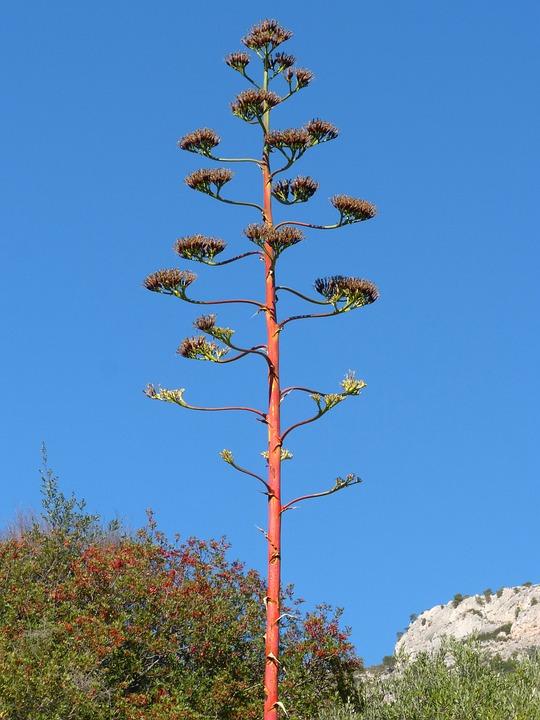 Agave, Flowering, Priorat, Sky