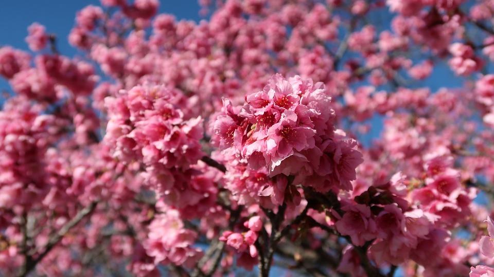 Cherry, Flower, Flowering, Rosa, Nature, Branch, Winter
