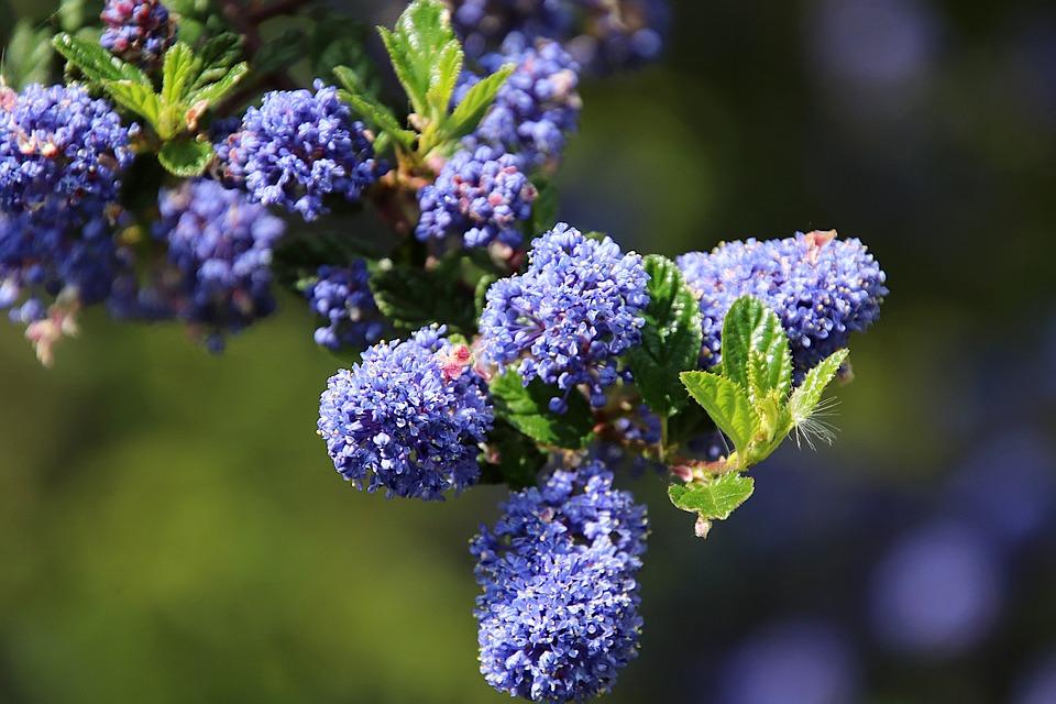 Céanothe, Lilac California, Flowering Shrubs