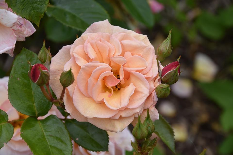 Flower, Pink Flower, Flowering Spring, Rosebush, Shrub