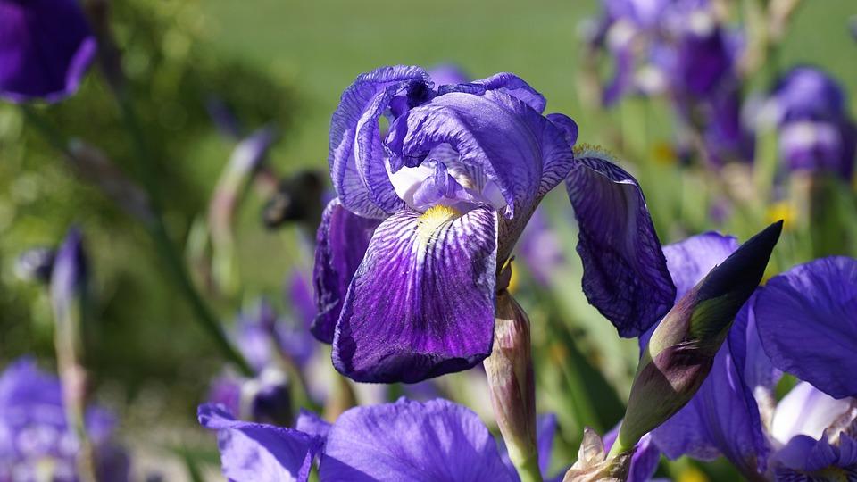 Iris, Flower, Lily, Flowering, Spring, Violet, Flowers