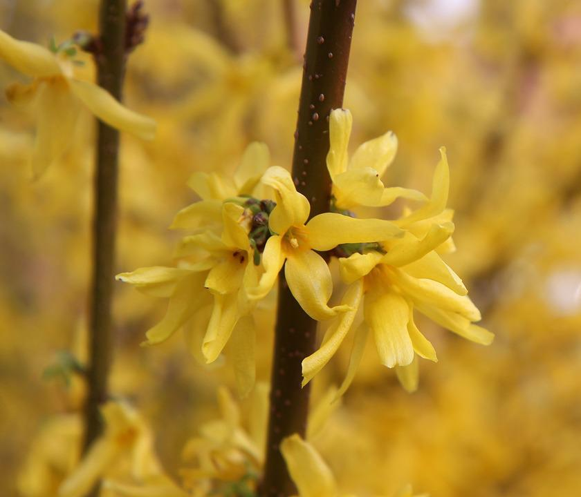 Forsythia, Spring, Yellow Flower, Flowering