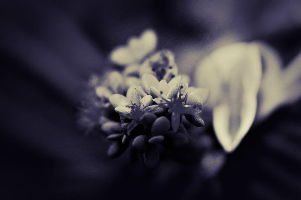 Succulent, Flowering Succulent, Bloom, Blooming