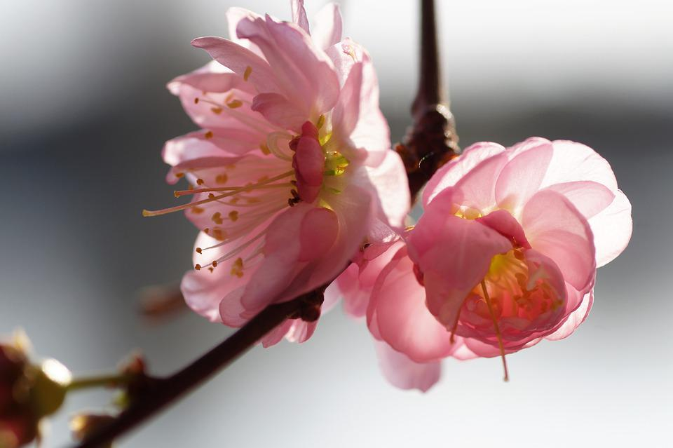 Almond, That Has Double Flowers, Flowering, Branch