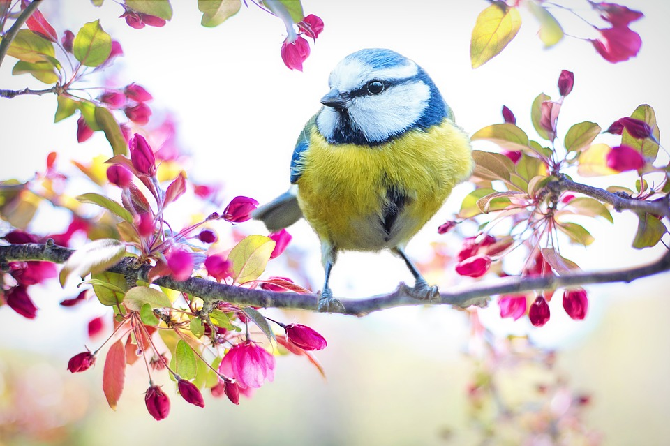 Spring Bird, Bird, Spring, Blue, Flowering Tree, Nature