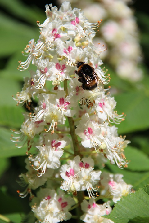 Bumble-bee, Chestnut, Flowering Tree, Flower