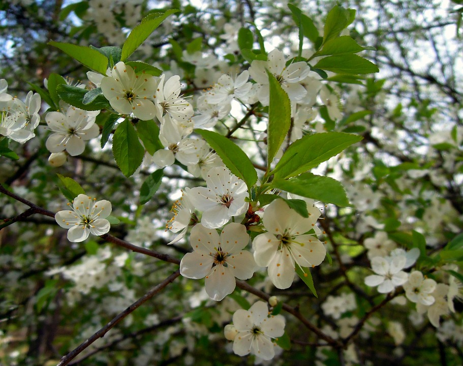Plum, Flowers, Cherry Plum, Tree, Flowering Tree