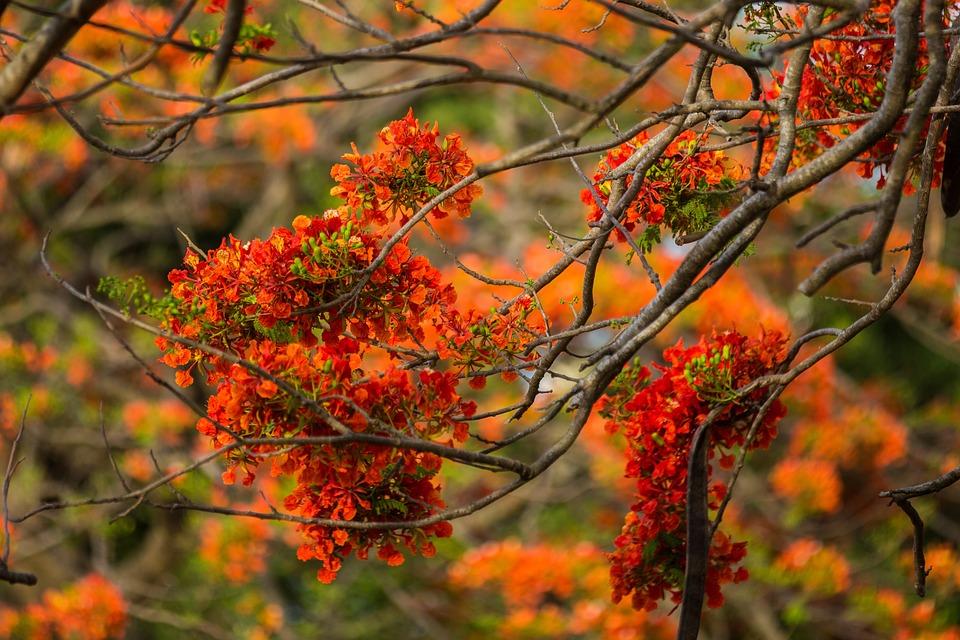 Flowering Tree, Nature, Flower