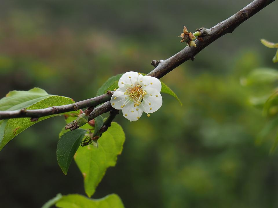 Taiwan, Polaris, Plum, Spring, Flowering, White, Tree