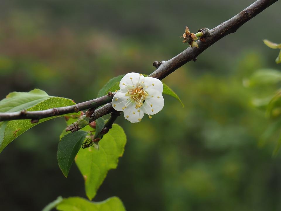 Taiwan, Polaris, Plum, Spring, Flowering, White, Tree