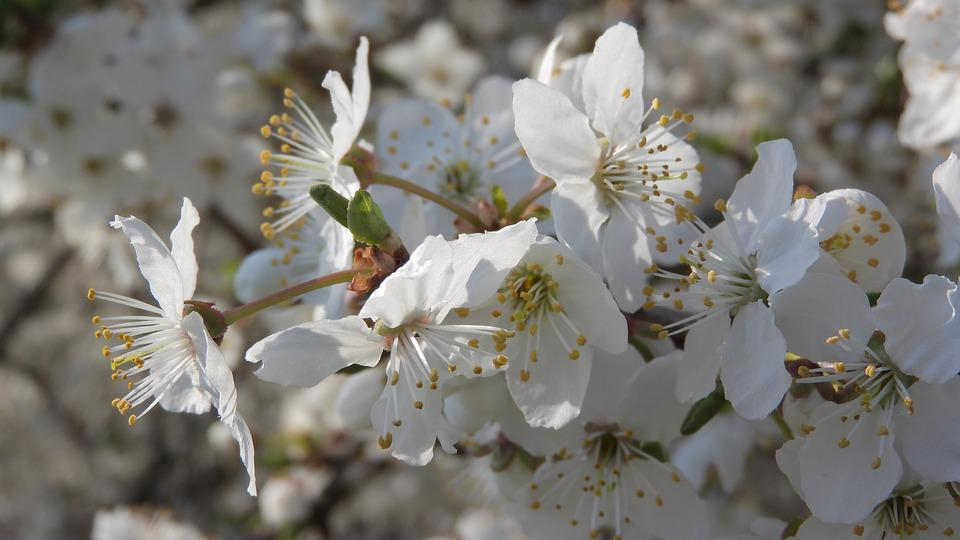 White Flowers, Flowering Tree, Romantic Flowers