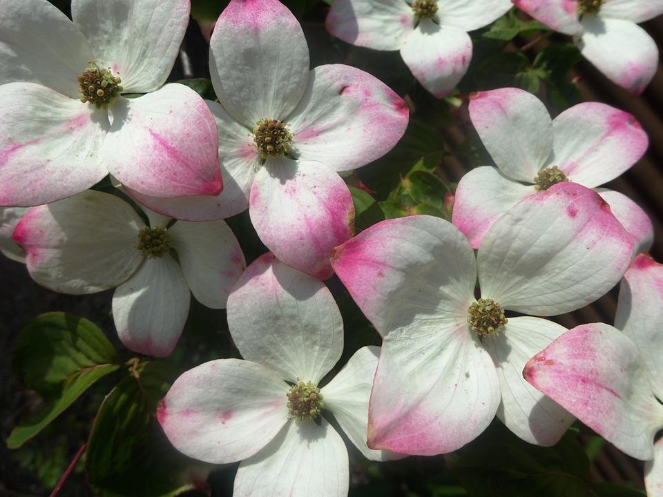 Shrub, Blooming, White, Flowering Tree, Natural
