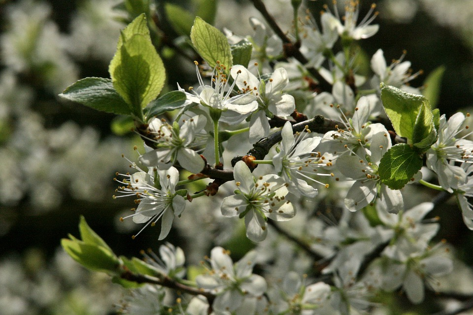 Plum Tree, Flowering Twig, Branch, Flowers